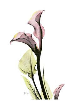 Calla Lily in Pink