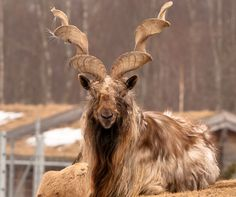 "Pakistan – Markhor (Capra falconeri) --Able to grow up to 240 lbs, this bad boy is the largest wild goat in the world -- as if that wasn't obvious from the two iron-mining augers attached to his head. Its name resembles the Persian words ""maar"" (snake) and ""khor"" (eater), having earned it the misleading nickname, ""snake-eating goat."""