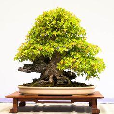 Trident maple – 80 years