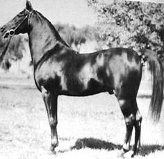 IBN RABDAN (Rabdan el Azrak x Bint Gamila, by Ibn Nadra) 1917 chestnut stallion
