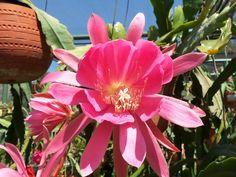 "The Epiphyllum Garden: June 2012 ""Blushing Angel"""