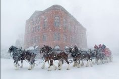 Back when we had Aspen Winterskol parades every year, the Budweiser Clydesdales would often take part.  Majestic!