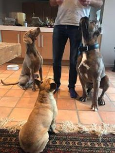 Protection Dogs Worldwide Roman A rare formentino Cane Corso, Contact 44 0 785 8120 456 for available family protection dogs. Cane Corso For Sale, Family Protection, Roman, Germany, Dogs, Animals, Animales, Animaux, Pet Dogs