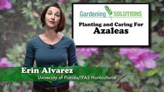 Gardening Solutions - Planting and Caring for Azaleas