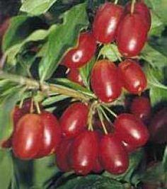 Cornus mas ... (Cornejo macho - arbusto)