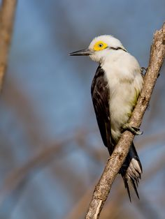 Pica-pau-branco/White Woodpecker - Melanerpes candidus by Julio Silveira, via 500px