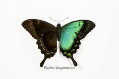 Sea Green Swallowtail Butterfly, Papilio lorquinianus albertisi, photograph by:  Darrell Gulin