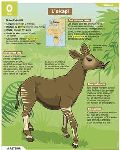 Fiche exposés : L'okapi                                                                                                                                                                                 Plus