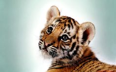 Tiger cub it's one of my relatives! I'm Kisa the tiger! Cute Tiger Cubs, Cute Tigers, Cheetah Cubs, Cute Baby Animals, Animals And Pets, Funny Animals, Wild Animals, Beautiful Cats, Animals Beautiful