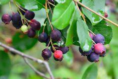 Muchovník: Ovocie budúcnosti vhodné do každej záhrady - Záhrada.sk Cherry, Fruit, Food, Inspired, Google, Hardy Plants, Ornamental Plants, Ficus Elastica, Essen