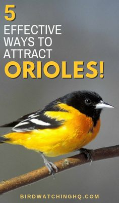 Orioles are incredibly fun to attract to your backyard. Much like hummingbirds, they tend to visit yards that offer nectar (sugar water). These orange birds also eat unique foods like oranges… Oriole Bird Feeders, Diy Bird Feeder, Humming Bird Feeders, Window Bird Feeders, Unique Bird Feeders, Bird Suet, Garden Bird Feeders, Bird Feeder Plans, Bird House Feeder