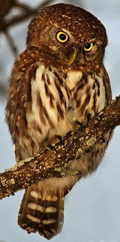 Pearl-spotted Owl, Kruger National Park, South Africa
