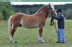 Estonian Draught - stallion Kuningas