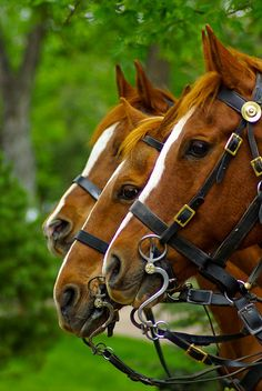 3 of a Kind Horses, Chestnuts with blazes, by zyrcster, via Flickr........Pretty Classy>.