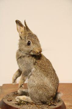 Opgezet konijntje Small Animals, Deer Antlers, Zoology, Animal Sculptures, Westminster, Rabbits, Art Forms, Bones, Appreciation