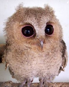 Baby owl...is there anything cuter? Let me answer that for you, no!