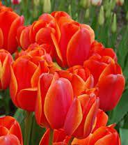 ad rem tulip