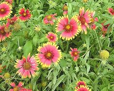 Image of Indian Blanket - Oklahoma wildflowers, identification
