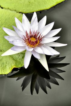Water Lily, love the shadow in the water.
