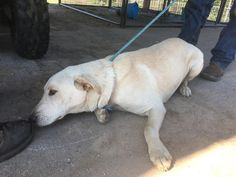 11/15/16-HOUSTON - HIGH KILL FACILITY - ALL DOGS URGENT DUE TO OVERCROWDING -This DOG - ID#A472294 I am a male, tan Labrador Retriever. The shelter staff think I am about 1 year old. I have been at the shelter since Nov 14, 2016. This information was refreshed 32 minutes ago and may not represent all of the animals at the Harris County Public Health and Environmental Services.