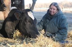 Vegan Artist Provides Sanctuary for Aging Dairy Cows: Helga Tacreiter has saved cows from slaughter for over 20 years. Now she has a nonprofit organization, Cow Sanctuary, to support her efforts... Until now, she paid for the upkeep of rescued animals herself, w/a little help from friends & supportive farmers. She now has 23 cows, 3 horses, 2 goats & a 3-legged pig on her 80-acres. None are used for any farming purpose. They simply enjoy life, she said... (click to read entire beautiful…