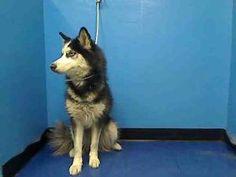 JEWEL is an adoptable Siberian Husky Dog in New York, NY.  ...