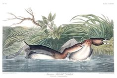 Global Gallery 'American Pied-Bill Dobchick' by John James Audubon Framed Painting Print Size: Audubon Prints, Audubon Birds, Painting Prints, Art Prints, Birds Of America, John James Audubon, Canvas Art, Canvas Prints, Vintage Birds