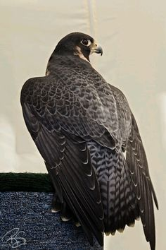 Peregrine falcon hands down my favorite bird!!!!