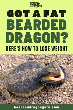 Advice and health tips on ways to reduce weight in a fat bearded dragon. Find out what can be done to promote weight loss for a healthier beardie. Bearded Dragon Heat Lamp, Bearded Dragon Substrate, Bearded Dragon Food List, Bearded Dragon Care Sheet, Bearded Dragon Habitat, Bearded Dragon Funny, Bearded Dragon Supplies, Dragon Facts, Pet Lizards