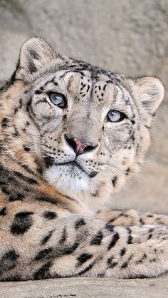 snow_leopard_face_handsome_kind_spotted_31682_640x1136 | Flickr - Photo Sharing!