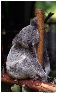 I love the way this koala is sleeping against the branch Pic taken at Australia Zoo. Enjoy <-- Next Previous --> Sleepy Koala Animals And Pets, Baby Animals, Funny Animals, Cute Animals, The Wombats, Sleeping Animals, Australian Animals, Mundo Animal, Cute Animal Pictures