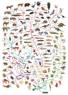 C.mucholderthan  'The Phylogenetic Tree of Life ' OpenLearn site used to offer this phylogenetic chart in the shape of a tree as a free poster, but no more.  They do have an online version of this same illustration, expandable and with links and an explanatory guide:Tree of Life - Open University.