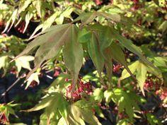 Acer palmatum 'Osakazuki', japanese maple, Agata Byrne, garden designer, landscape architect, award winning garden, best surprise garden in Dalkey 2012, best overall garden in Dalkey 2013, Art House, Dalkey, Ireland, April 2014
