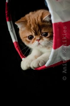 Exotic shorthair cats and Exotic shorthair kittens http://cats-paradise.net/exotic-shorthair