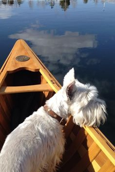 This is one of the things I like to do. Canoe with my white mini schnauzer! Schnauzers, West Highland White Terrier, Mini Schnauzer, Schnauzer Dogs, Miniature Schnauzer, White Dogs, Westies, Little Dogs, I Love Dogs