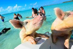 Bahamas Pigs That 'Mysteriously' Died Suspected To Have Been Fed Alcohol By Tourists Bahamas Pigs, Exuma Bahamas, Bahamas Vacation, Bahamas Snorkeling, Adventure Of The Seas, Adventure Travel, Pig Island, Pig Beach, Swimming Pigs