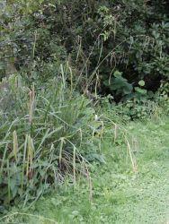 Riesen Wald Segge - Carex pendula