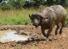 A Buffalo after cools himself in the mud in Queen Elizabeth National Park