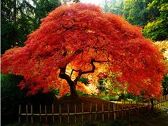 Japanese Maple Tree in Full Colour