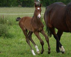 Chappie H - e. Ci Ci Senor Ask / Solos Landtinus  #Stutteri #horses #Heste #fyn #fynskeheste #føl #plage