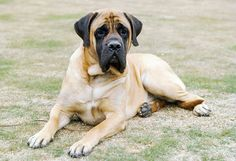 Everything you want to know about Mastiffs including grooming, training, health problems, history, adoption, finding good breeder and more.