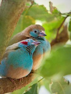 Новая Гвинея райские птицы - Поиск в Google