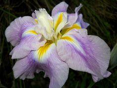 Japanese iris, ensata Kogesha Japanese Iris, Bearded Iris, Greek Words, Most Beautiful Flowers, Irises, Ponds, Colorful Flowers, Planting Flowers, Paradise