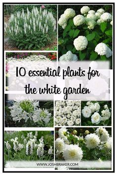 Top 10 Essential Plants For The White Garden. A great handy guide for selecting . Top 10 Essential Plants For The White Garden. A great handy guide for selecting the best white flowering plants for your garden White Flowering Plants, White Plants, White Perennial Flowers, White Rose Plant, Green Plants, Garden Shrubs, Shade Garden, Perrinial Garden, Autumn Garden