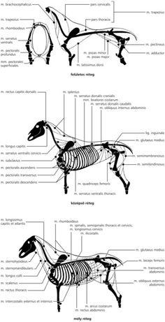 A háziállatok funkcionális anatómiája Digital Textbooks, Latissimus Dorsi, Vet Med, Animal Sculptures, Animal Anatomy