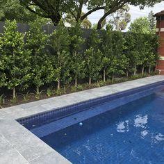 Ficus Flash screen hedge.  Nadia Gill Landscape Architect