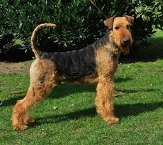 Airedale Terrier aus der Zucht - Royal Workers - Airedaleterrier Airedalewelpen
