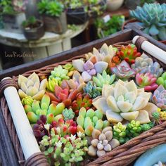 Love the colours ! Growing Succulents, Succulents In Containers, Cacti And Succulents, Planting Succulents, Planting Flowers, Garden Terrarium, Succulent Terrarium, Garden Plants, House Plants