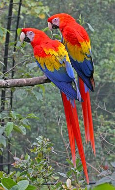 Mackaw Photograph – Pair Of Scarlet Mackaws by Peggy Collins Mackaw-Fotografie – Paar scharlachrote Mackaws durch Peggy Collins Parrot Drawing, Parrot Painting, Colorful Parrots, Colorful Birds, Tropical Birds, Exotic Birds, Cute Birds, Pretty Birds, Most Beautiful Birds