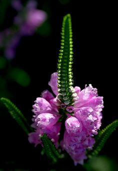 """obedience plant so pretty, but please tell me I""""m not the only one who sees a phallic symbol here."""